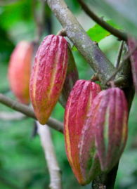 Raw Cacao - Food of the Gods